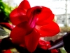 Christmas-Cactus-In-Red.jpg