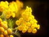 Tansy Blooms