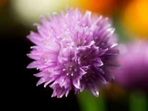 Close up of chive flower