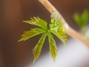 New Leaf of Virginia Creeper