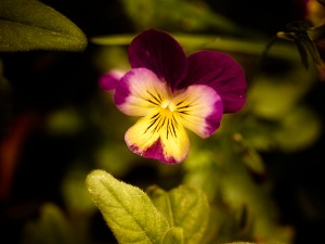 Volunteer viola via plant purchase