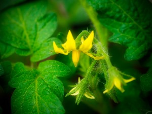 Container tomato flowers