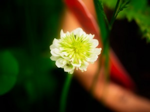 Artistic photo of white dutch clover bloom