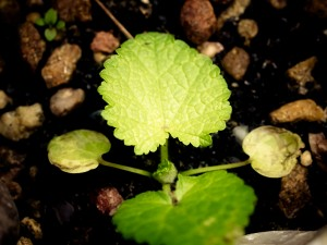 Hollyhock Seedling
