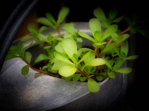 Purslane Growing