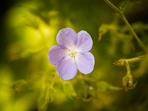 Spotlight on Geranium Flower