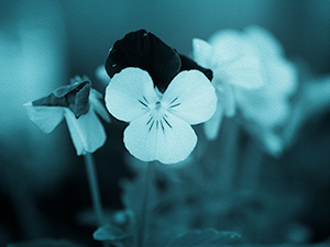 Cyanotype Pansies