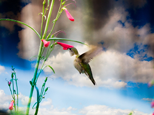 Hummingbird enjoying the penstemon blooms