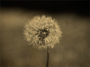 Dandelion seed head isolated on artistic background.