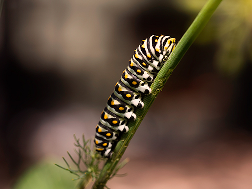 black_swallowtail_third_instar