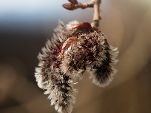 One more of an aspen catkin.
