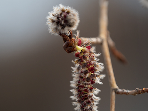 Aspen Catkin! Don't you just love it when the aspens flower?