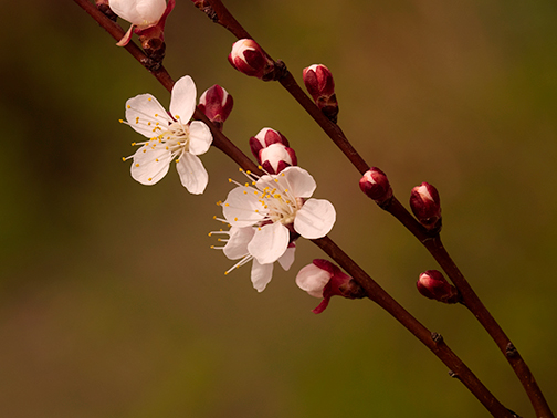 Prunus armeniaca, Armenian Plum in bloom at Denver Botanic Gardens