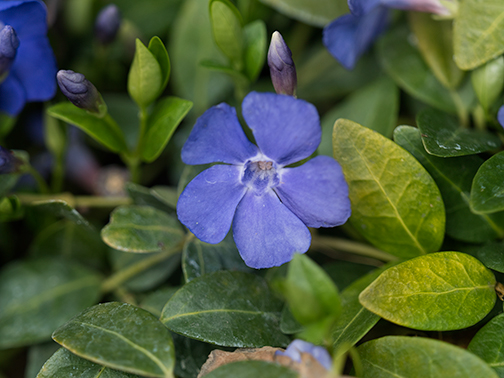 Brave little vinca flowers planted beneath a lot from a downed olive tree.