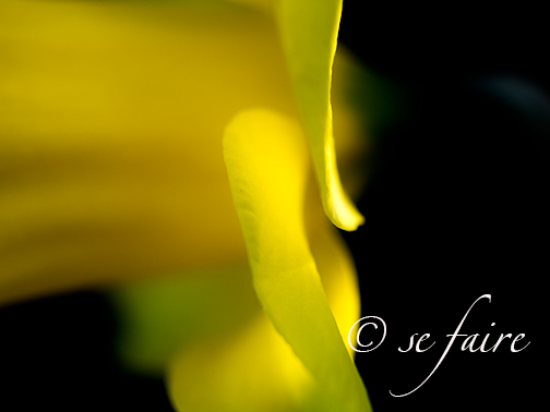 Side profile of daffodil petals. I love the artistic nature of this photo.