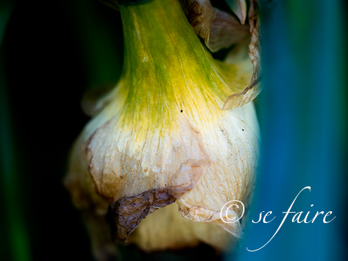 Faded daffodil bloom. I believe there is beauty even in death and this to me is just beautiful.