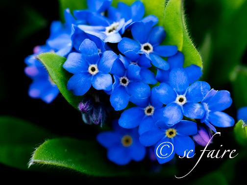 One of my favorite flowers! The humble yet glorious forget-me-not. I love this flower and they are coming up nicely here and there all over the garden.