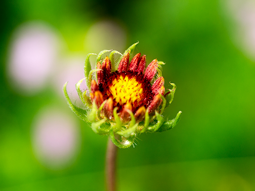 Blanket Flower in Bud