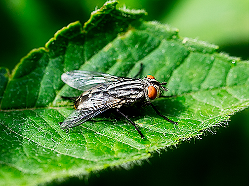 Fly having a rest on a  bee balm leaf