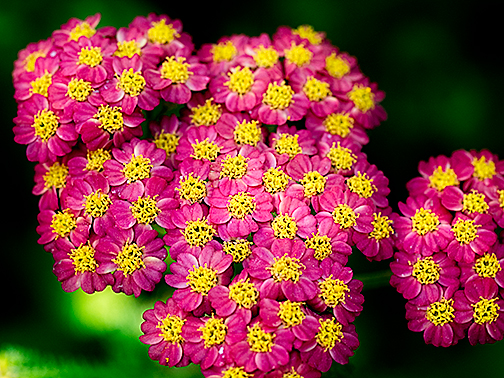 A beautiful variety of achillea (yarrow)