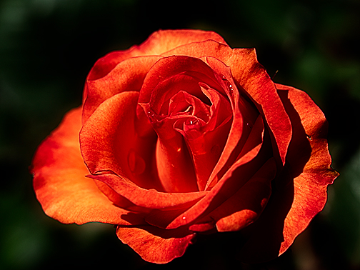 Beautiful rose in full bloom