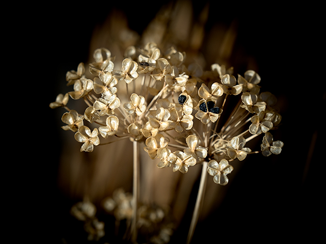 Garlic Chives Seed Head