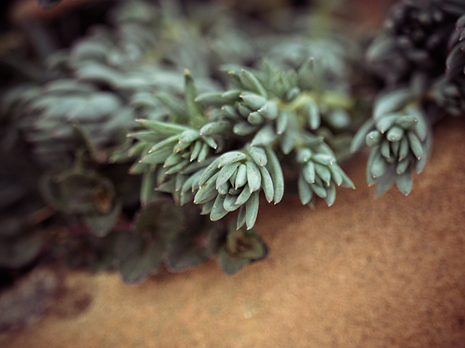 Evergreen sedum