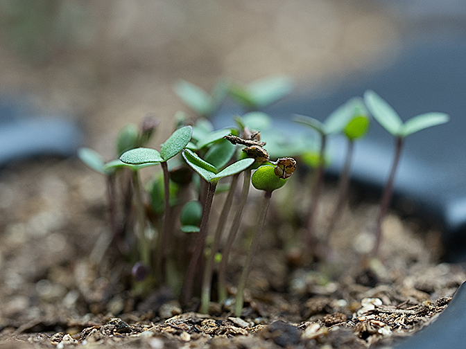 Alyssum Seedlings