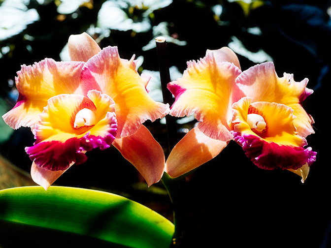 """Pot. Dick Smith """"Paradise"""" Cattleya Orchid"""