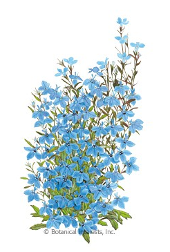 Lobelia Cambridge Blue Heirloom  seed packet