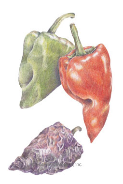 Poblano pepper seed packed