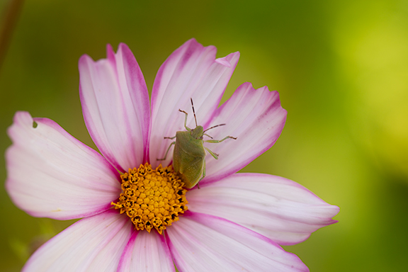 Pink cosmos with stinkbug