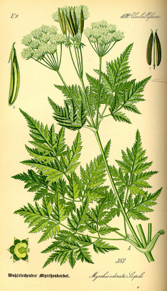 Botanical Drawing of Myrrhis Odorata, Sweet Cicely