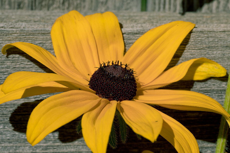 Rudbecia flower against fence