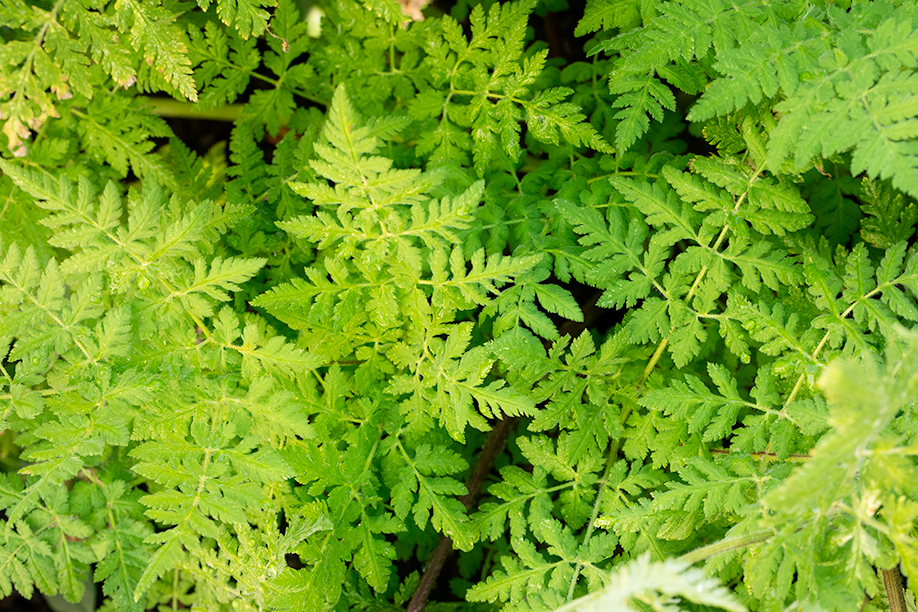 Sweet Cicely Leaves