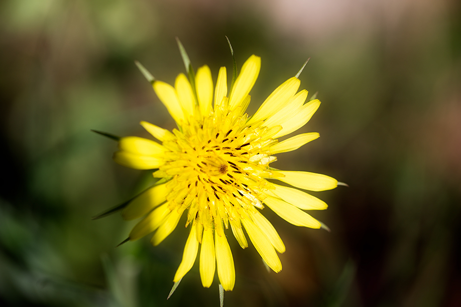 Tragopogon dubius (Yellow Goat's Beard)