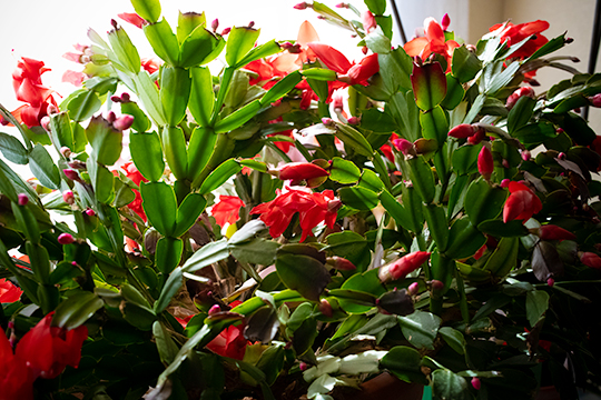 Christmas cactus in full bloom