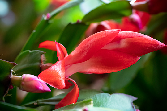 Christmas cactus macro bloom